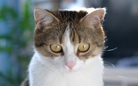 Картинка глаза, котяра, кошак, взгляд