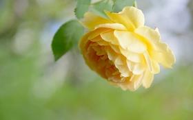 Обои роза, лепестки, желтая
