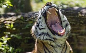 Картинка язык, морда, тигр, хищник, пасть, клыки, дикая кошка