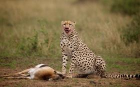 Обои гепард, добыча, антилопа