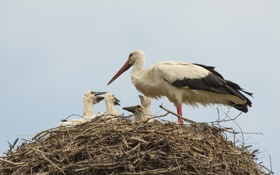 Обои птицы, гнездо, птенцы, аисты