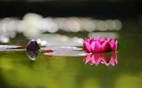 Картинка цветок, вода, листок, лотос, water, a flower, a Lotus leaf