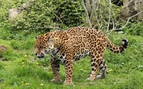 Картинка хищник, ягуар, дикая кошка, рык, сердитый
