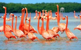 Обои птицы, розовые, фламинго, в воде