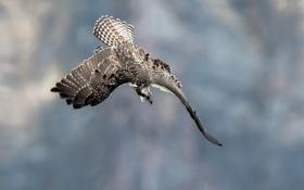 Картинка птица, хищник, охота, скопа
