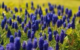 Картинка цветы, синий, природа, весна, мускари, muscari