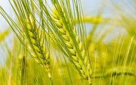 Обои пшеница, макро, колосья