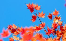 Обои листья, небо, багрянец, ветка, клен