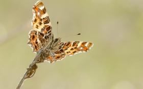 Обои глаза, бабочки, крылья, ветка, усики, крыльями