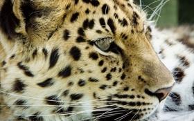 Обои leopard, head, feline