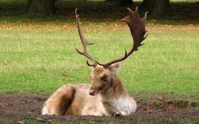 Обои лес, трава, олень, рога, опушка