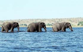Обои вода, три, бивни, слона, хоботы