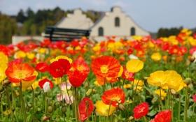 Обои colorful, field, flowers, poppy, meadow