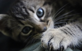 Обои котёнок, взгляд, лапка, когти