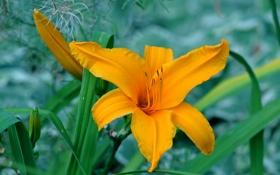 Обои листья, цветок, лилия, лепестки, тычинки