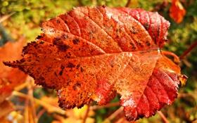Обои осень, лист, макро, красный