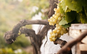 Обои природа, виноградник, кусты, белый виноград