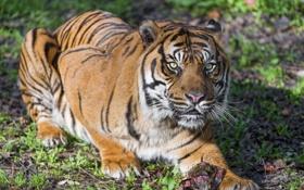 Обои кошка, тигр, ©Tambako The Jaguar, суматранский