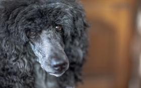 Картинка взгляд, макро, собака