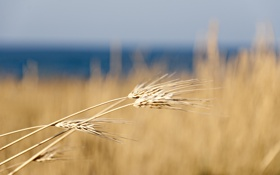 Картинка пшеница, поле, макро, природа, колосья