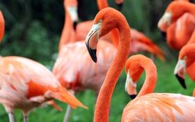 Обои зелень, птицы, фламинго