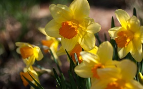 Картинка цветы, весна, желтые, солнечно, нарциссы