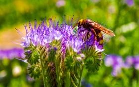 Обои растение, цветок, оса, насекомое