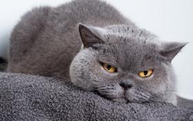 Обои кот, глаза, морда, взгляд