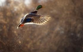 Обои птица, полёт, утка