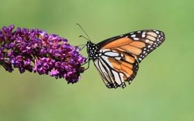 Картинка бабочки, цветы, стебли, крылья, бутоны, wings, butterfly