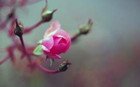Обои роза, бутоны, розовая