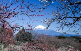 Картинка сакура, Япония, вулкан, Fuji, гора