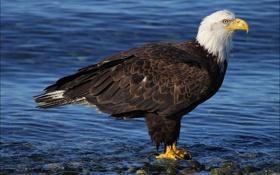 Белоголовый орлан, птица, хищник, вода обои