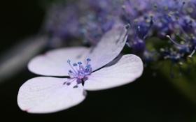 Обои макро, цветы, hydrangea