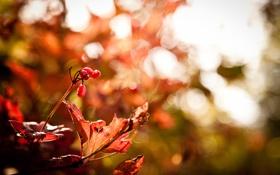 Картинка осень, макро, ветки, блики, ягоды, листва
