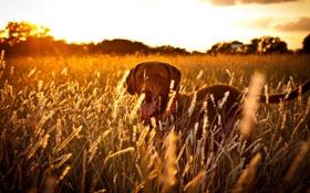 Обои поле, закат, собака