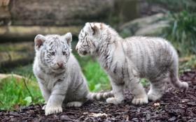 Картинка хищники, пара, малыши, дикие кошки, тигрята, детеныши, белые тигры