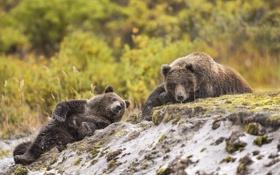 Обои природа, фон, медведи