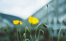 Обои желтые, мак, лепестки, цветы