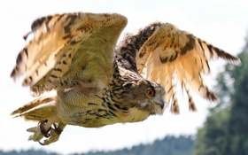 Картинка сова, птица, полёт