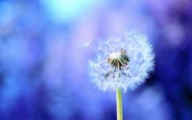 Обои фиолетовый, макро, фото, фон, одуванчик, обои, растение