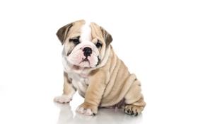 Обои собака, щенок, белый фон, английский бульдог