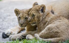 Обои трава, кошки, пара, львята, детёныши, ©Tambako The Jaguar
