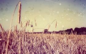 Обои рожь, луг, поле, колосья, колос
