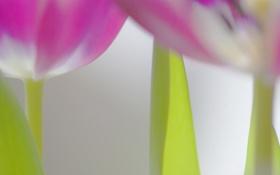 Картинка цветок, тюльпан, лепестки, стебель