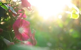 Картинка нежность, бутон, цветение, петуния