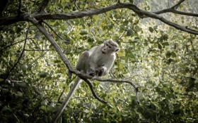 Обои monkey, nature, background, sri lanka