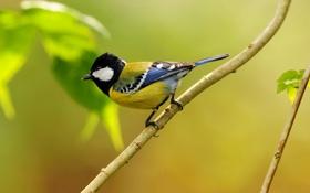 Картинка природа, лист, птица, ветка, синица