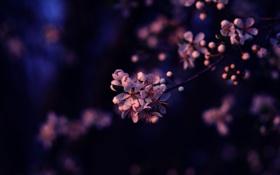 Картинка фиолетовый, цветы, вишня, сиреневый, ветка, лепестки, сакура