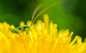 Обои цветок, природа, кузнечик